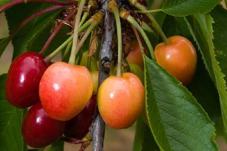 Ziekten op druivelaars
