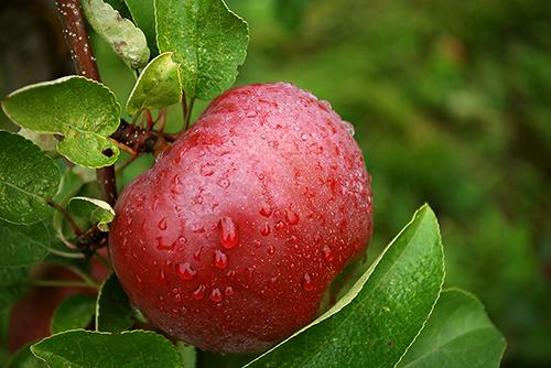 Fruitboom kopen