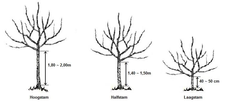 Fruitboom vormen Hoogstam, halfstam, laagstam