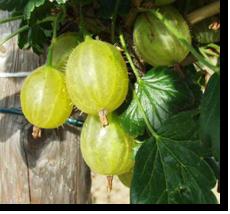 Kruisbes Ribes uva crispa Invicta kopen