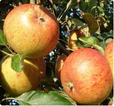 Appel Cox Orange pippin - fruitboom kopen