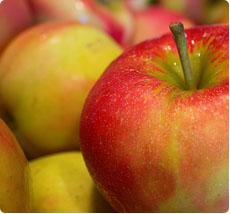 Malus Jonagold appelboom kopen