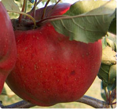 Malus Melrose appelboom kopen