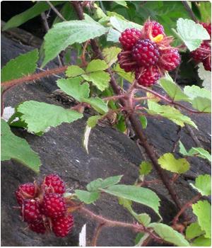 Overige kleinfruit planten kopen