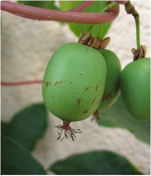 Kiwibessen planten