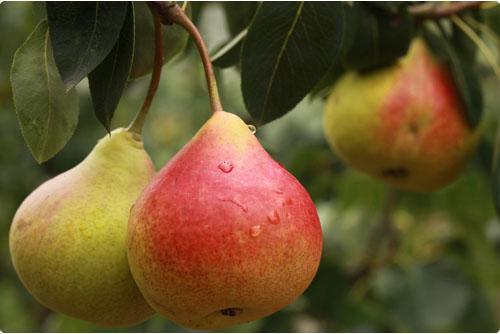 Leifruit perenboom kopen