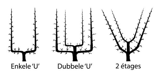 Leifruit vormen - Leifruitbomen kopen