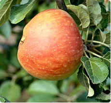 Appelboom Alkmene - laagstam, halfstam en hoogstam