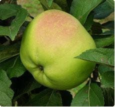 Malus Cwastresse Double appelboom kopen
