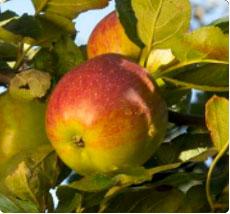 appelboom kopen - Dubbele Bellefleur appel