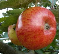 Malus Jacques Lebel appelboom kopen
