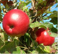 Malus Jonathan: appelboom kopen
