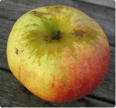 Malus Joseph Musch appelboom kopen