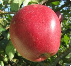 Malus La Paix appelboom kopen
