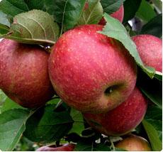 Malus Rode Boskoop appelboom kopen