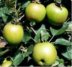 Appelboom Schone van boskoop
