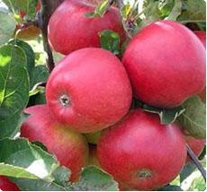 Malus Winston appelboom kopen