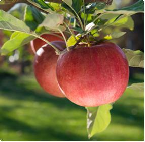 Malus domestica appelboom kopen