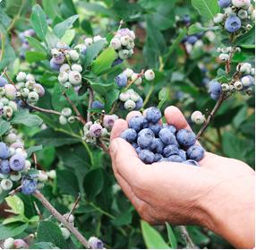 Blauwe bes rassen: Planten kopen