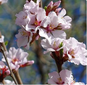 Kersenboom planten - bloei