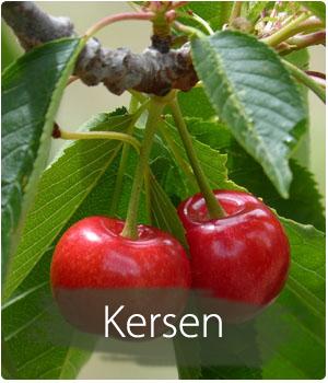 kersenboom kopen en planten