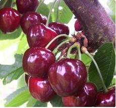 Kersenboom Bigarreau Burlat kopen