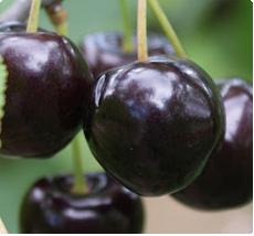 Kersenboom Bigarreau Noir kopen