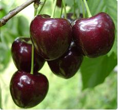 Kersenboom Prunus avium Kordia kopen