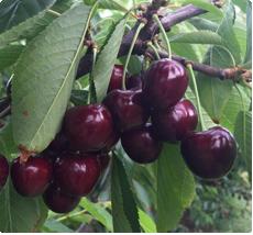 Kersenboom Prunus avium Regina kopen