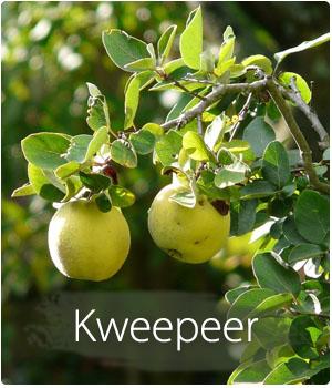 Kweepeerboom kopen en planten