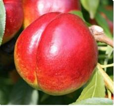 Nectarine Prunus persica Madame Blanchet