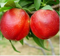 Nectarine prunus persica Nectared
