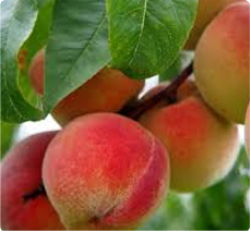 Perzik Prunus persica Fertile de septembre