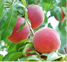 Perzik Prunus persica Vaes Oogst