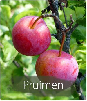Pruimenboom kopen en planten