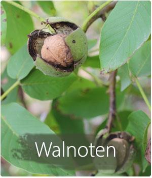 Walnootboom kopen en planten