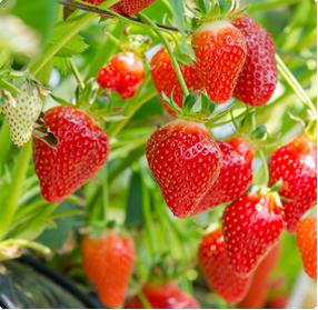 Aardbeien planten kopen - Vele aardbeienrassen te koop