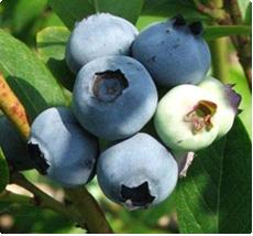 Blauwe bessen Bluecrop - Blauwe bessen planten kopen