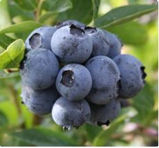 Blauwe Bes duke: Blauwe bessenplant kopen
