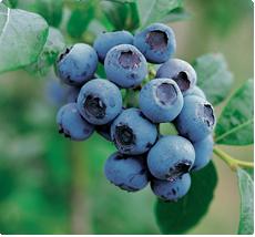 Blauwe bessen Goldtraube - Blauwe bessen planten kopen