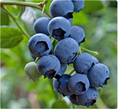 Hortblue Petite blauwe bessen plant