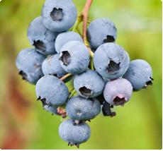 Blauwe bessenplant kopen - Jersey