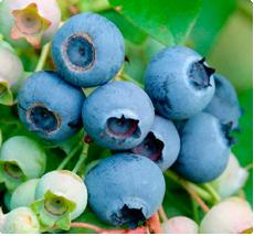 Vaccinium corymbosum Northland: Blauwe bes planten