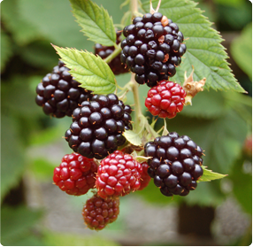 Braambessen planten kopen: Ruime keuze aan braambessenstruiken in pot