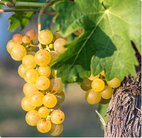 Druiven planten kopen