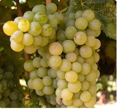 Vitis Bianca - Druivenplant kopen