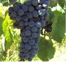 Druif Frankenthaler - Pitloze druiven
