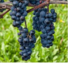 Druif Leon Millot: Druivelaar voor rode wijn