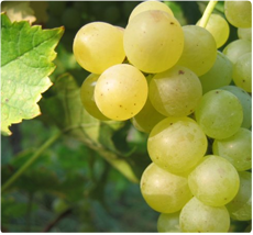 Muscat Blanc druif: druiven voor witte wijn