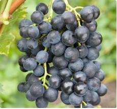 Muscat Bleu kopen: Druivelaat voor wijn en consumptie